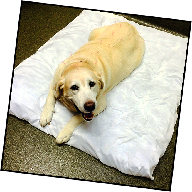 Toby, a lab getting acupuncture therapy.